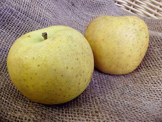 pomme ancienne reinette clochard