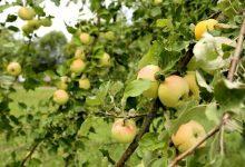 Photo of Pommier: des variétés anciennes à redécouvrir