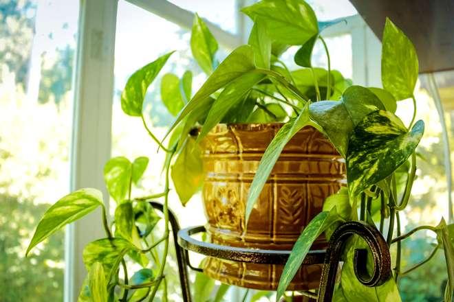 rempoter une plante verte