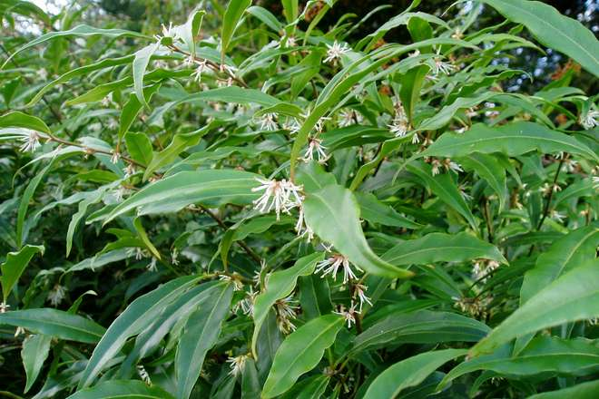 sarcoccoca floraison hivernale