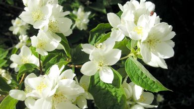 Photo of Seringat, Philadelphus