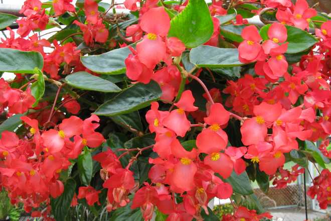 begonia dragon wings