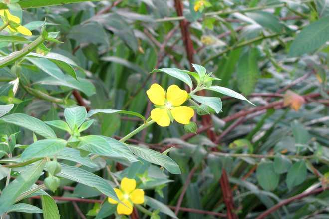 jussie plante invasive