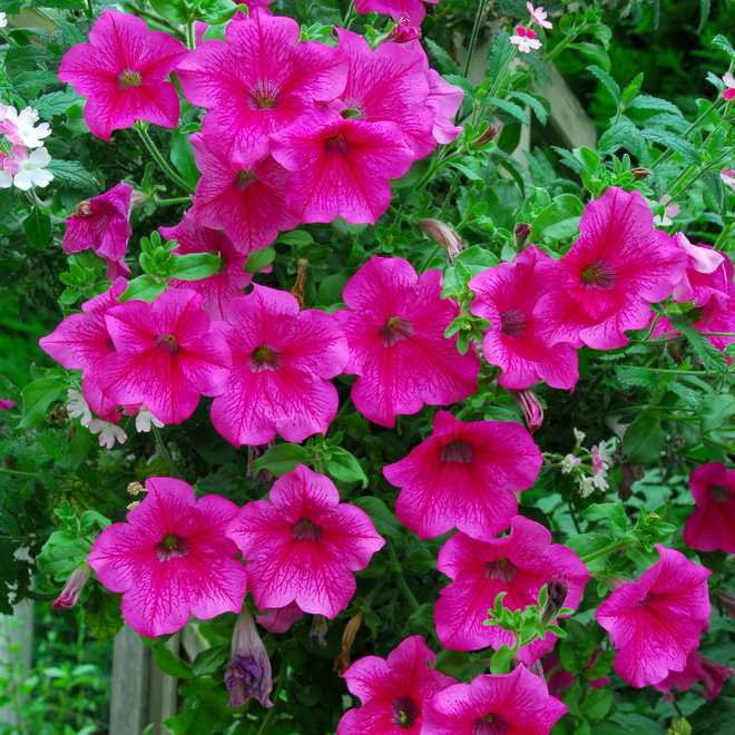 petunia surfinia suspension