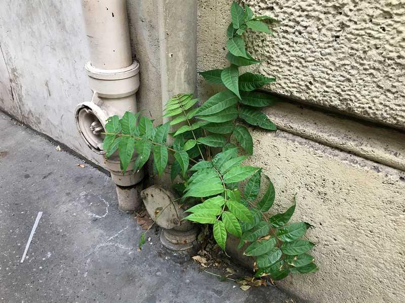 plante invasive