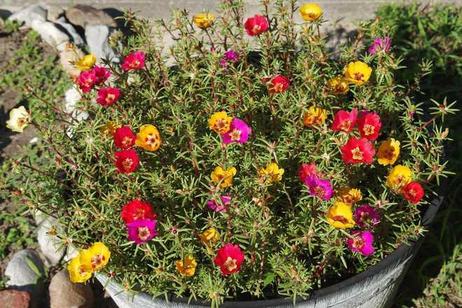 pourpier a grandes fleurs jardiniere