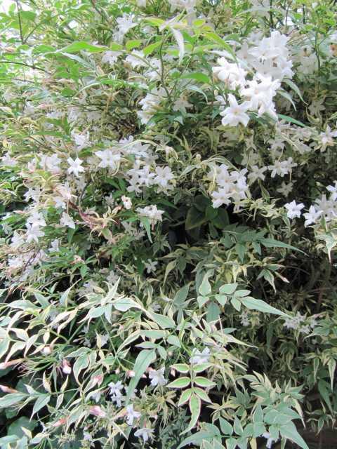 jasminum officinale argenteovariegatum