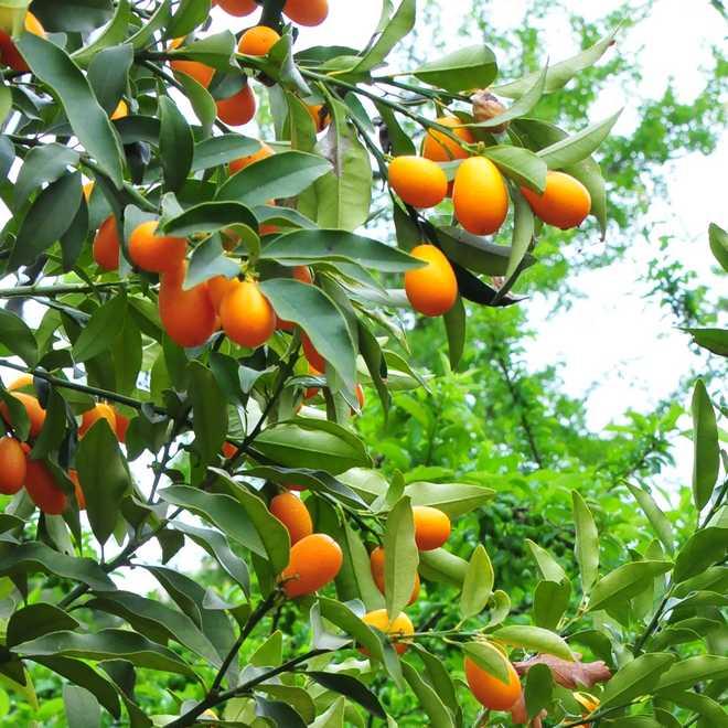 kumquat agrume