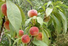 arbre fruitier en pot