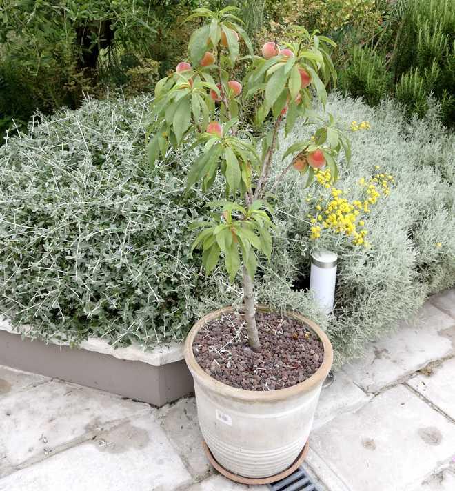 arbre fruitier en pot pour terrasse