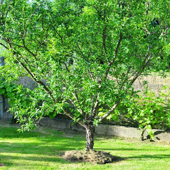 arbre fruitier gobelet