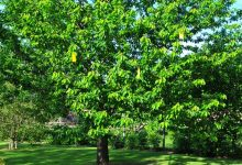 arbre haute tige