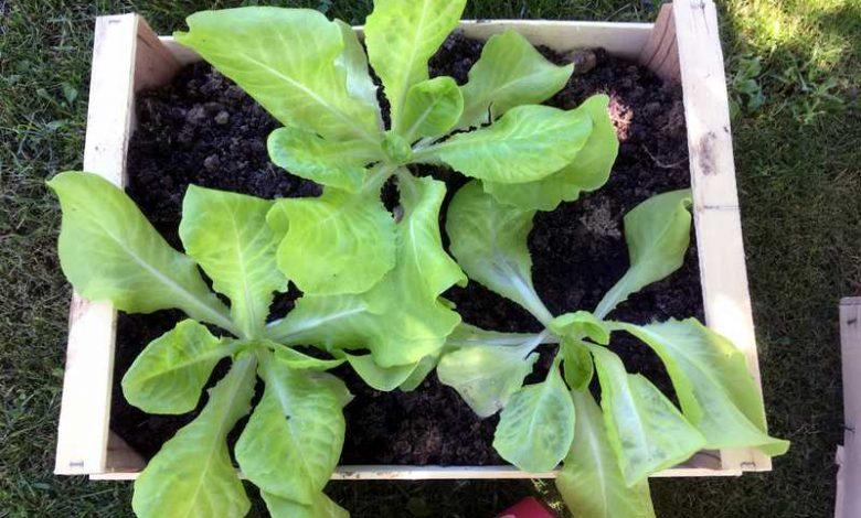 Photo de Planter des salades dans une jardinière ou cagette