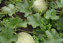 types de melon
