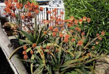 aloes arborescent
