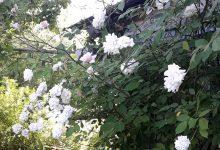 bloomfield abundance rose