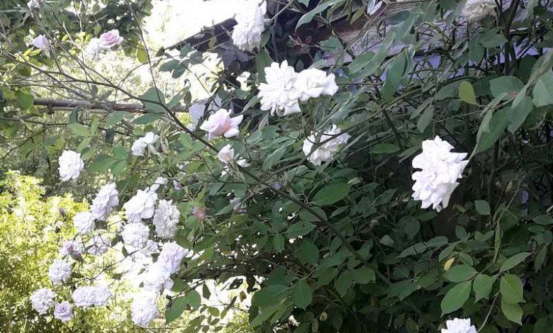 Photo of Bloomfield Abundance: un rosier arbuste