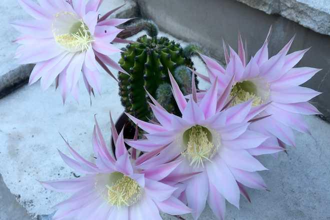 cactus resistant au froid
