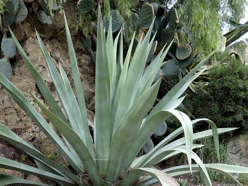 plante grasse exterieur resistant au gel