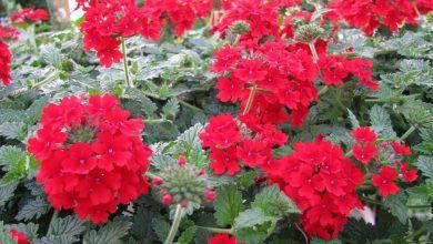Photo de Les verveines: des fleurs colorées tout l'été