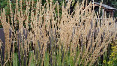 calamagrostis acutiflora karl foerster