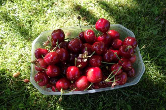 quel cerisier planter