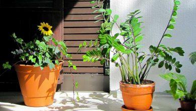 Photo de Zamioculcas Zamiifolia: L'Élégante Plante ZZ