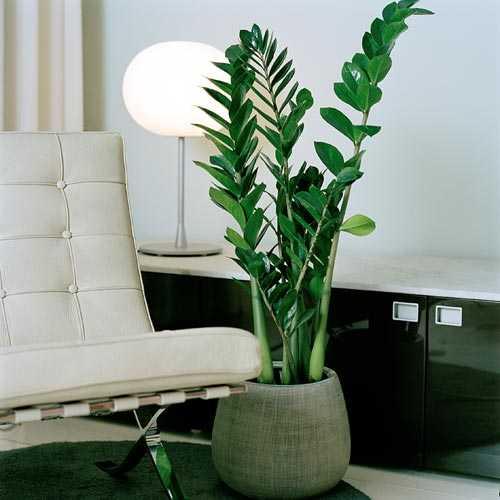 zamioculcas zamiifolia bouture