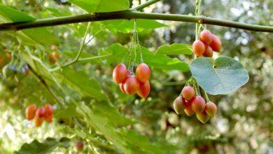 Photo de L'arbre à tomate: l'exotique tamarillo !