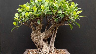 Photo de Ficus Retusa: Le Bonsaï Facile Pour Débuter