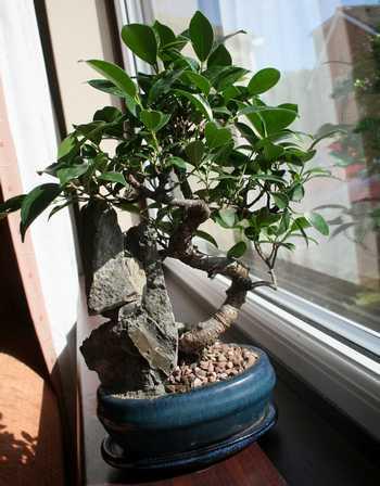 bonsai ficus retusa arrosage