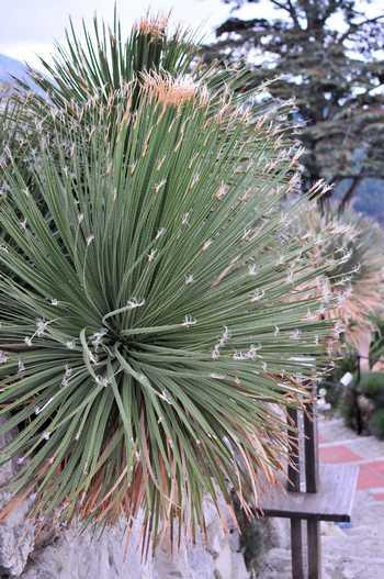 dasylirion feuilles seches