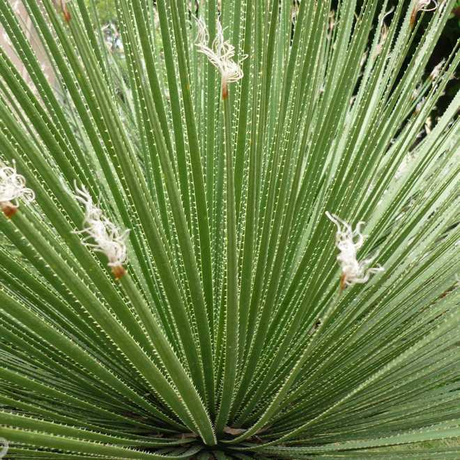 dasylirion plante