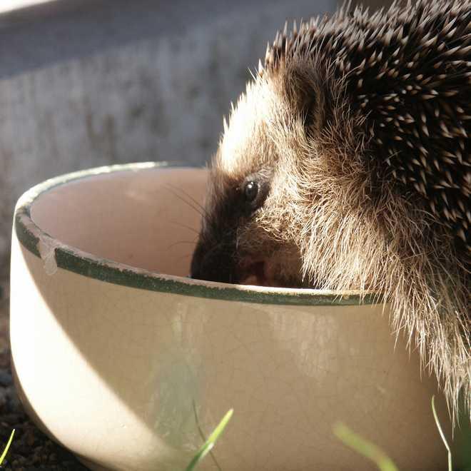 herisson hibernation nourriture