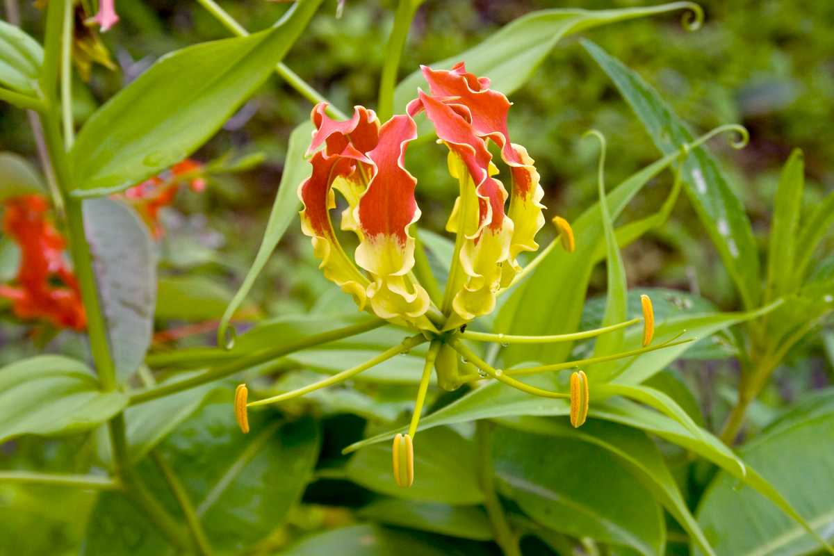 Photo of Gloriosa Superba: L'Élégant Lis De Malabar