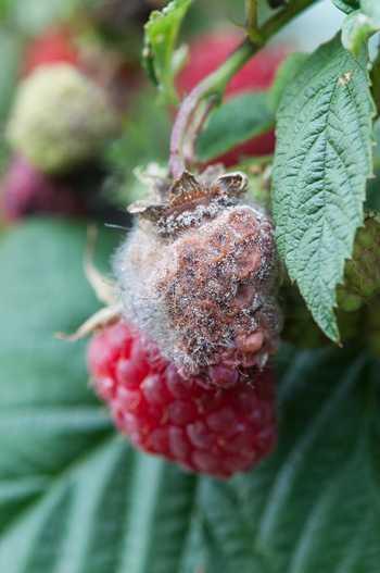 maladie framboise fruit