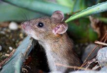 Photo de Comment Eviter les souris dans le compost ?