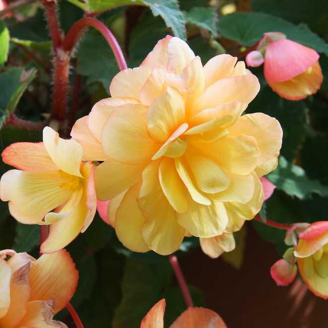 Begonia tubereux jaune