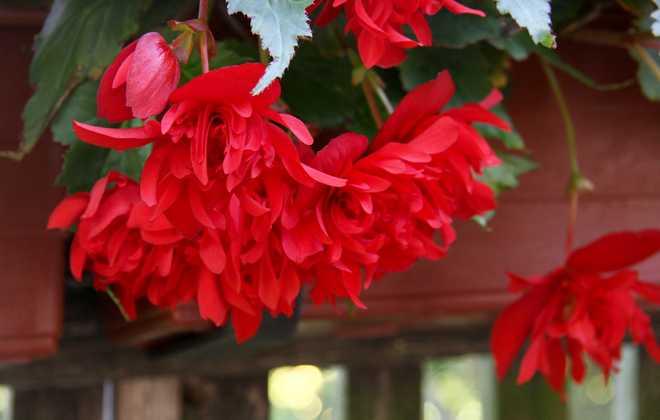 begonia tubereux hivernage