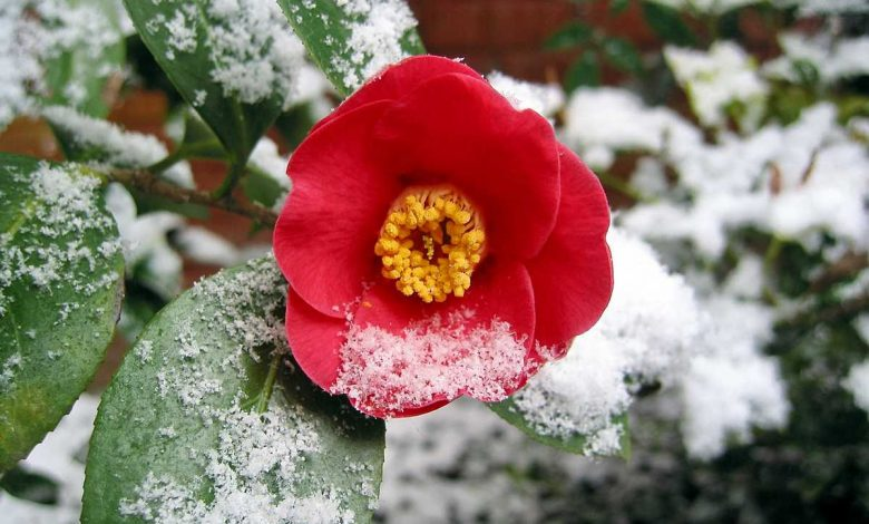 Photo de Comment protéger un Camélia en pot en hiver ?