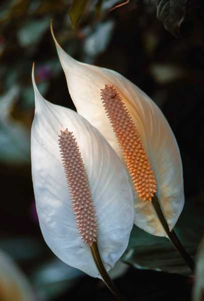 entretien spathiphyllum
