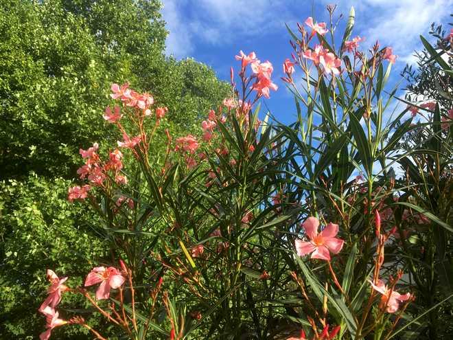 fleurs laurier rose ne s ouvrent pas