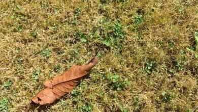 Photo de Votre pelouse est jaune ? Rien de grave !