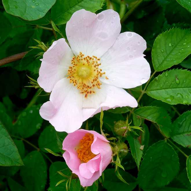 rosier sauvage rose