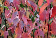 Photo de 10 arbustes à feuilles rouges en automne !