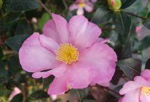 Photo de Camellia sasanqua : Le camélia à fleurs d'automne