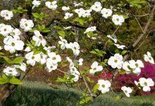 Photo de Cornouiller à fleurs : un arbuste superbement fleuri !