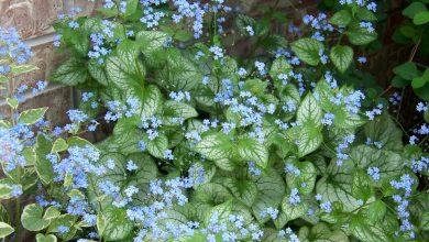 Photo de Myosotis du Caucase : Joli couvre sol pour coin ombragé