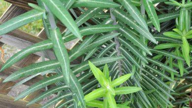 plante anti taupe euphorbia