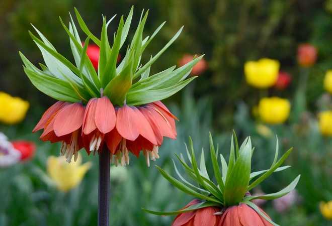 plante anti taupe fritillaire